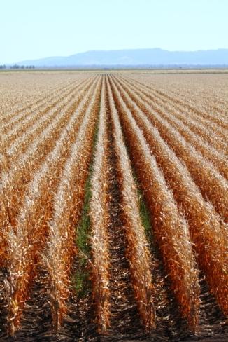 Corn 2AM-001229