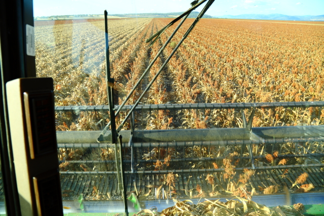 Sorghum Harvest 2AM-008002