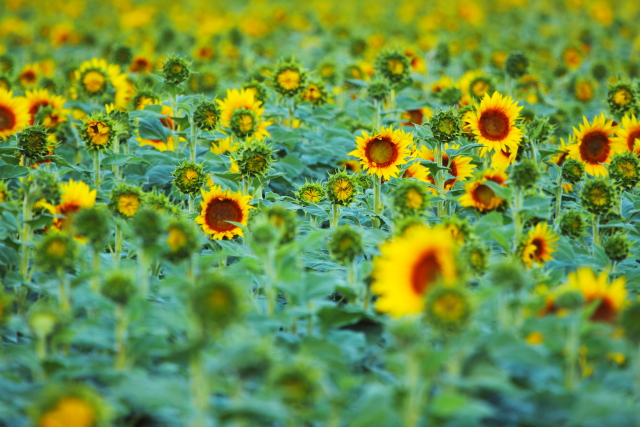 Sunflowers 2AM-001297