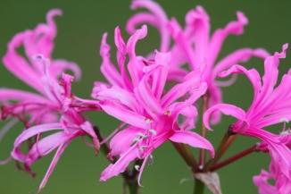 Pink Spider Lily 2AM-001341