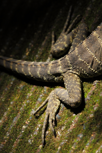 Australian water dragon 2AM-009846