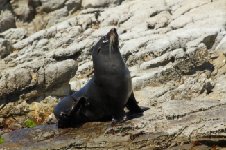 New Zealand fur seal 2AM-004384. ©Andrew McInnes