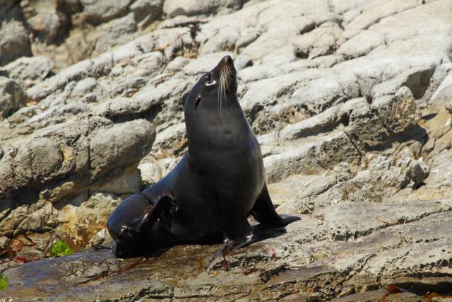 New Zealand fur seal 2AM-004384. ©Andrew McInnes