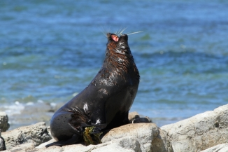 New Zealand fur seal 2AM-004403. ©Andrew McInnes
