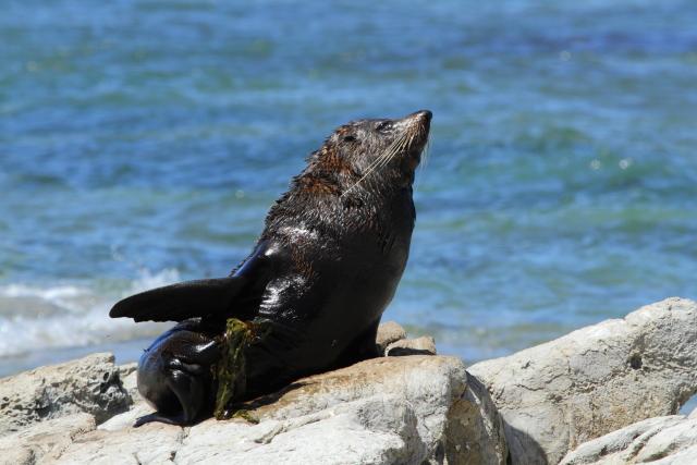 New Zealand fur seal 2AM-004426. ©Andrew McInnes