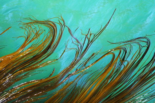 Rimurapa - Bull Kelp 2AM-004857