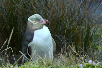 Yellow-eyed Penguin 2AM-004739