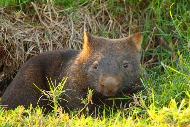 Bare-nosed wombat 2AM-001370