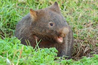 Bare-nosed wombat 2AM-001412