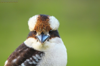 Laughing Kookaburra 2AM-001384