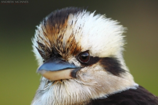 Laughing Kookaburra 2AM-001394